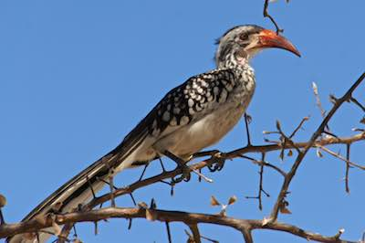 Hornbill perched in a tree in the Kalahari Desert, Botswana