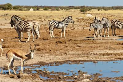 Springbok and zebra at waterhole in the Kalahari Desert, Botswana