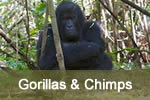 Gorillas & Chimps